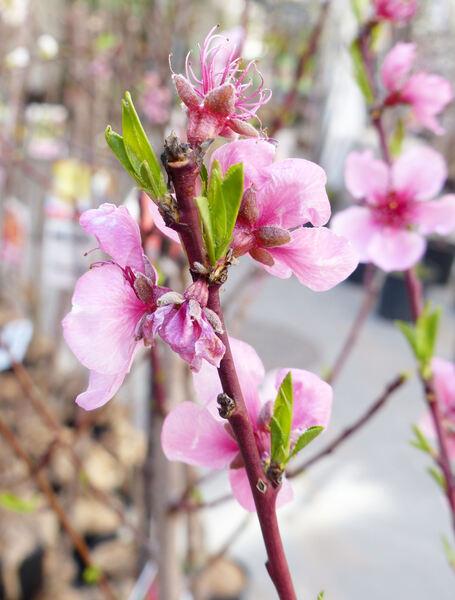 Prunus persica (L.) Batsch 'Michelini'