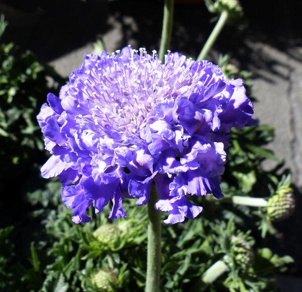 Lomelosia cv.