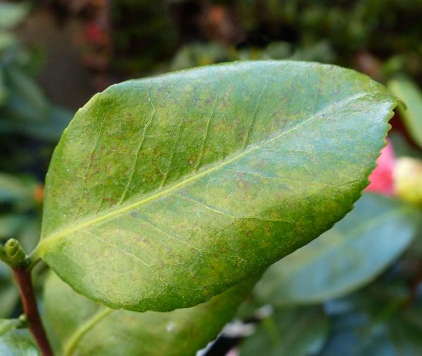 Camellia japonica L. 'California'