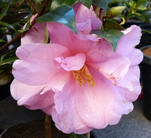 Camellia x williamsii hort. 'Donation'