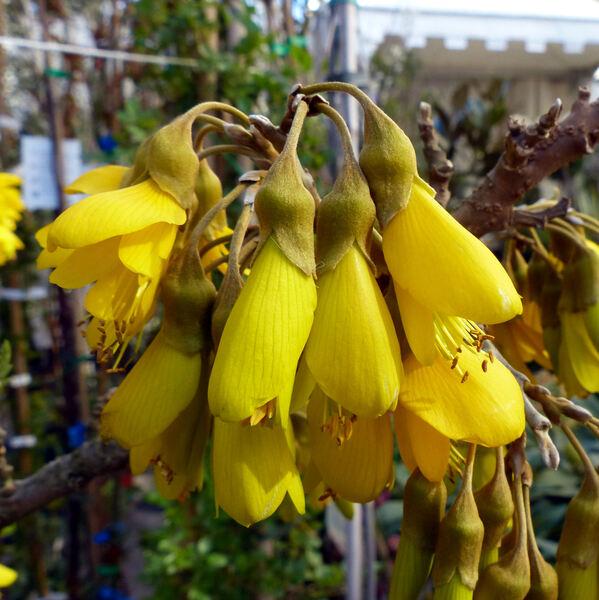 Sophora microphylla Aiton 'Sun King'