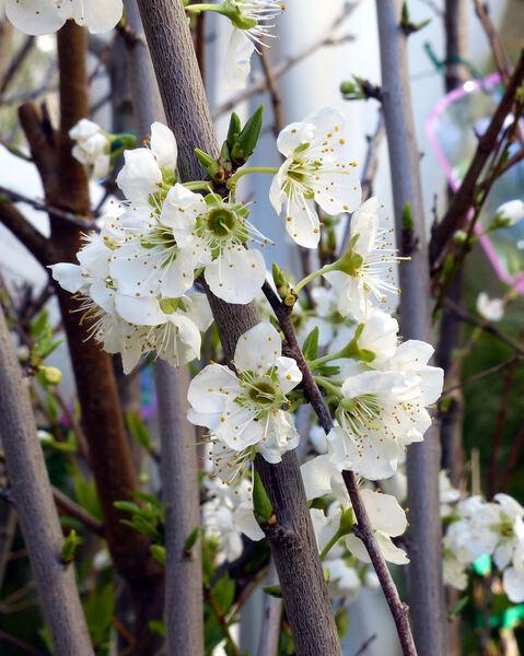 Prunus domestica L. 'Shiro Goccia d'Oro'
