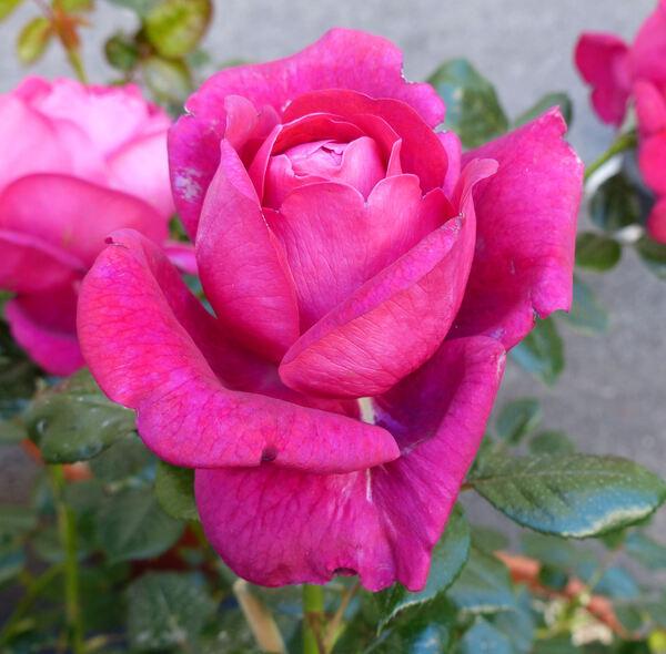 Rosa 'Jingle Bells ®'