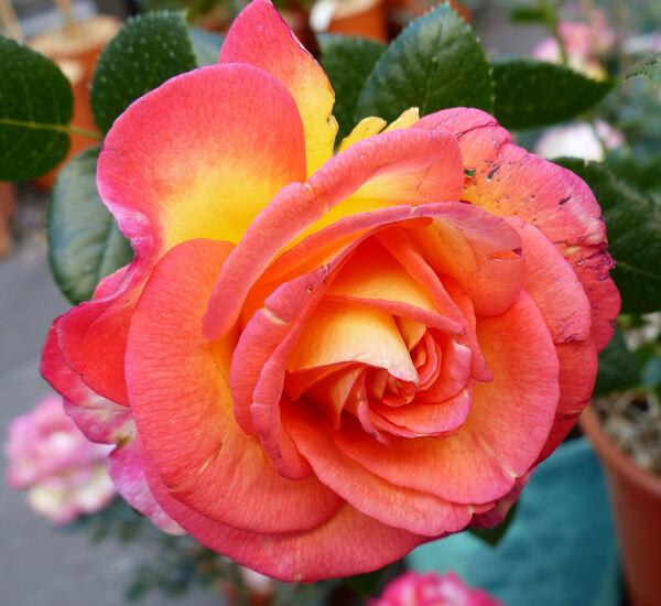 Rosa 'Roberto Alagna ®'