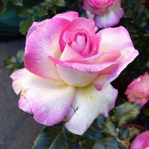 Rosa 'Sweet Delight ®'