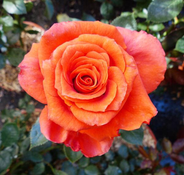 Rosa 'Anne Vanderlove ®'