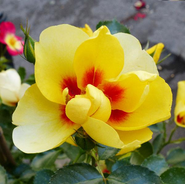 Rosa 'Eyeconic ®'