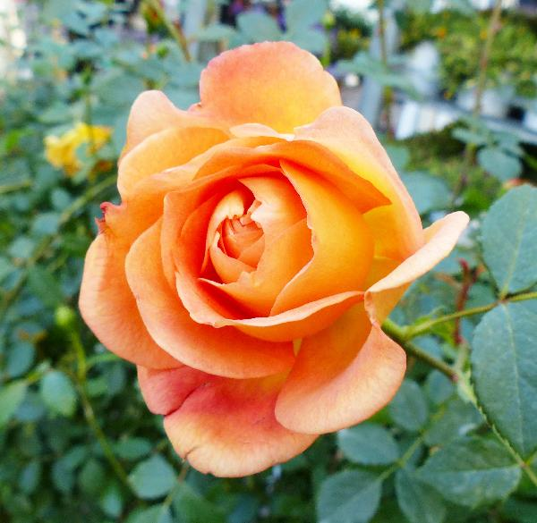 Rosa 'Lady of Shalott'