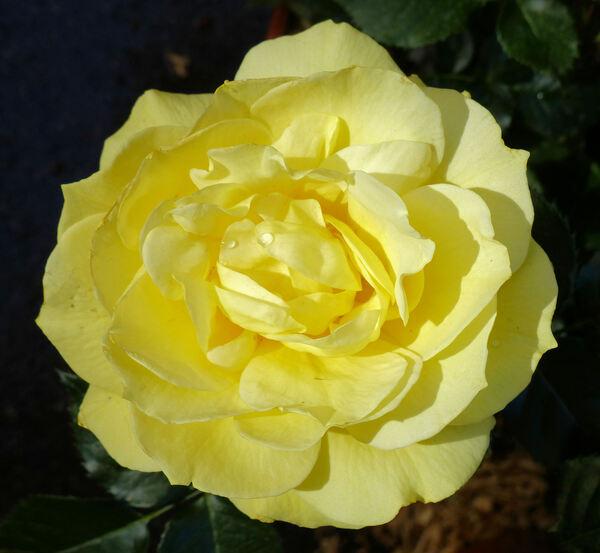 Rosa 'Golden Silk'