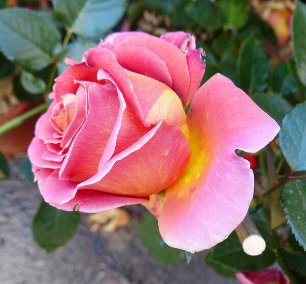 Rosa 'Broadway ®'