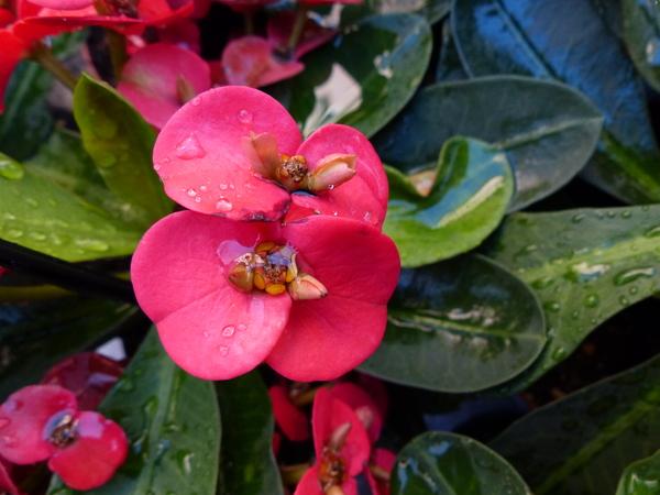Euphorbia milii Desmoul. 'Miltiana Ballerina'