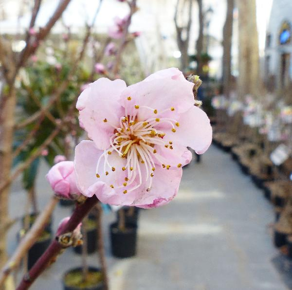 Prunus persica (L.) Batsch 'May Crest'