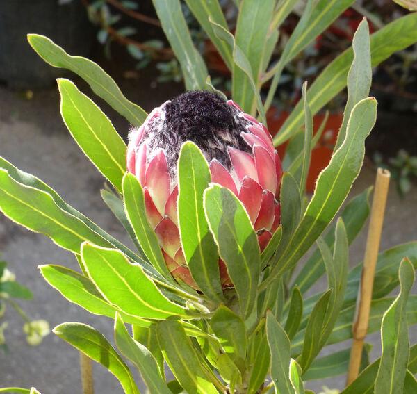 Protea 'Pinita'