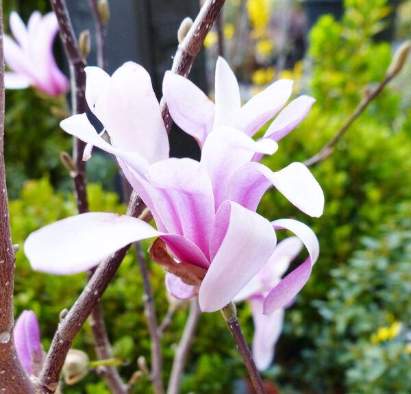Magnolia x loebneri P. Kache 'Leonard Messel'