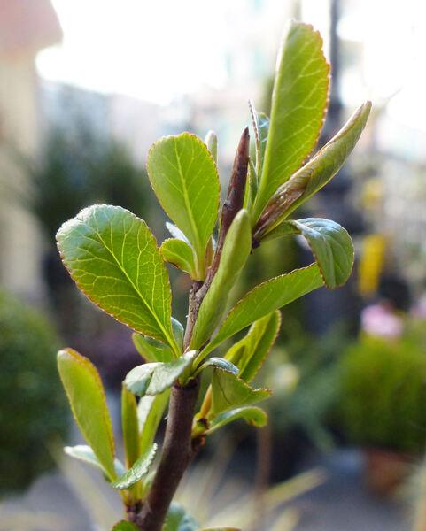 Chaenomeles japonica (Thunb.) Lindl. ex Spach 'Cido'