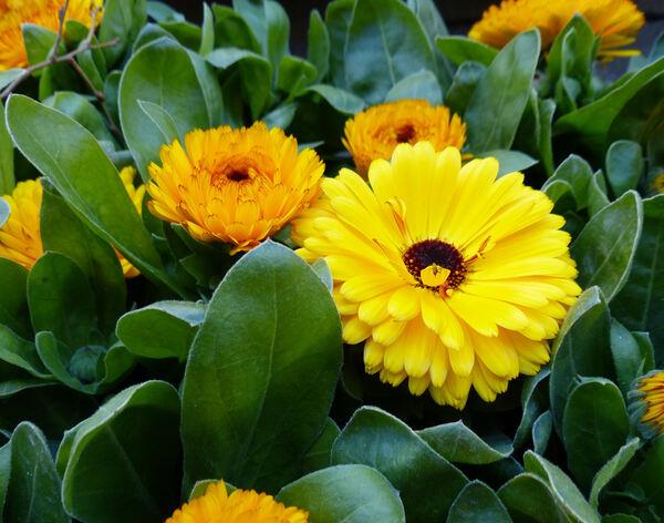 Calendula 'Double Flowers'
