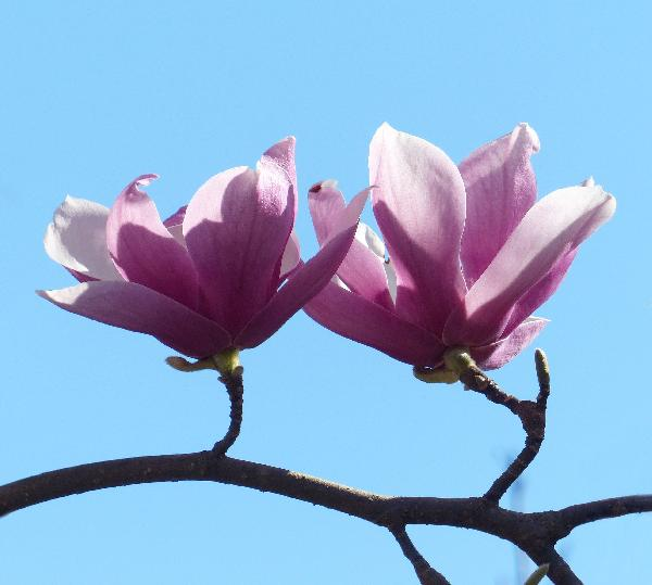 Magnolia x soulangeana Soul.-Bod. 'Verbanica'