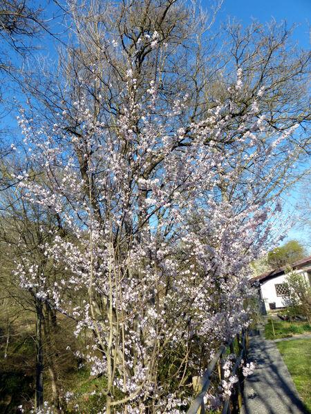 Prunus 'Pandora'