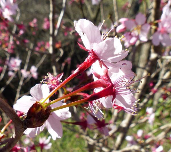 Prunus nipponica Matsum. 'Ruby'