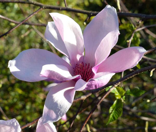 Magnolia 'Peachy'