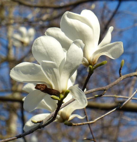 Magnolia 'Gere'