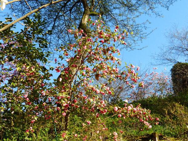 Camellia cuspidata (Kochs) C.H. Wright ex H.J. Veitch 'Spring Festival'