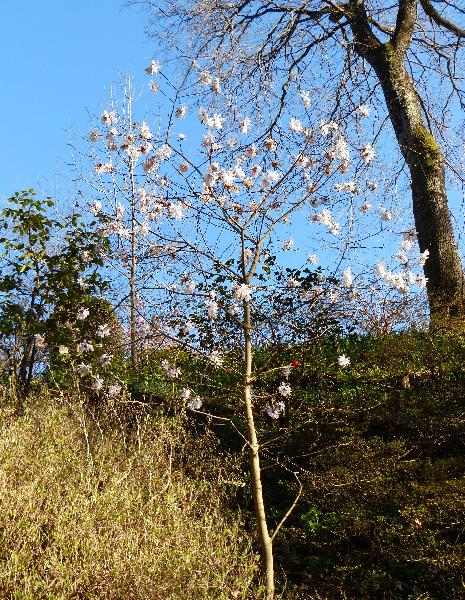 Magnolia x loebneri P. Kache 'Encore'