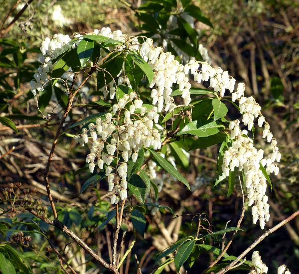 Pieris japonica (Thunb.) D.Don 'Yakushimanum'