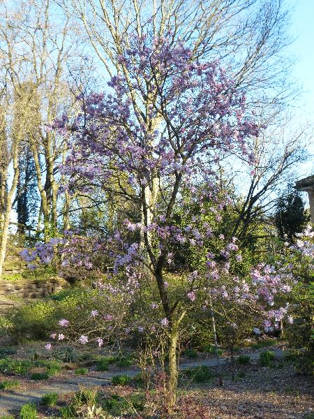 Magnolia stellata (Siebold & Zucc.) Maxim. 'Rosea'