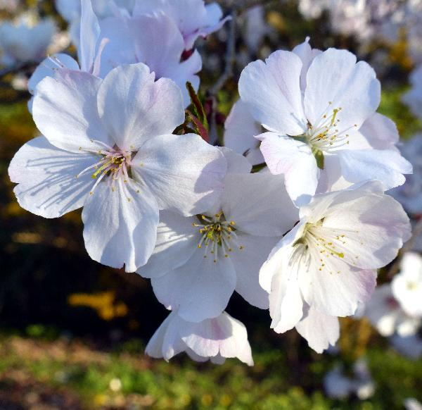 Prunus incisa Thunb. 'The Bride'