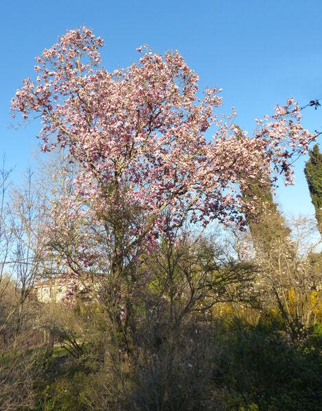 Magnolia x soulangeana Soul.-Bod. 'Sundew'