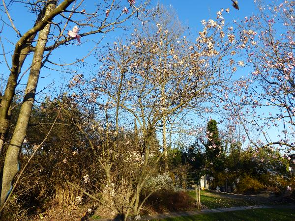 Magnolia stellata (Siebold & Zucc.) Maxim. 'Select Pink'
