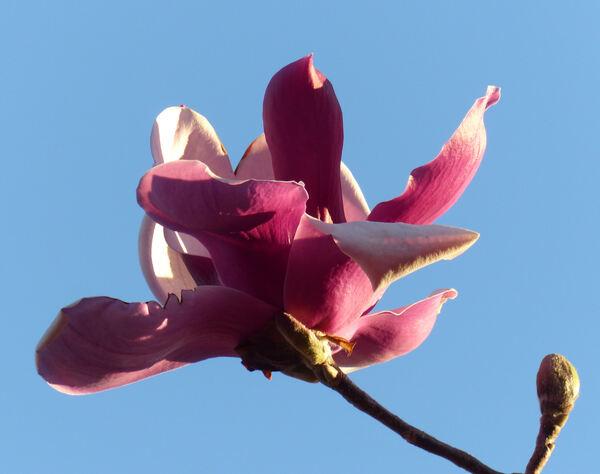 Magnolia 'L A 31'