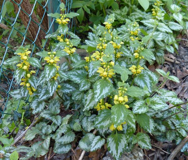 Lamium galeobdolon (L.) L. subsp. argentatum (Smejkal) J.Duvign.