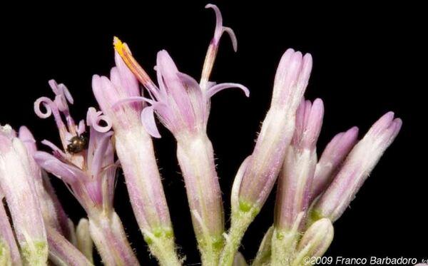 Adenostyles australis (Ten.) Iamonico & Pignatti