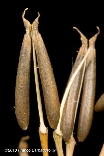 Anthriscus nemorosa (M.Bieb.) Spreng.