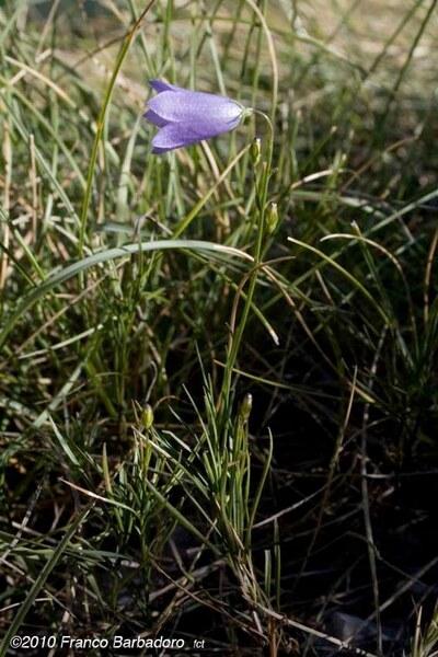 Campanula scheuchzeri Vill. subsp. pseudostenocodon (Lacaita) Bernardo, Gargano & Peruzzi