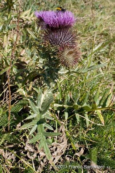 Cirsium morisianum Rchb.f.