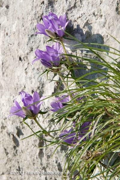 Edraianthus graminifolius (L.) A.DC. subsp. graminifolius