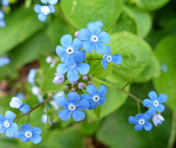 Brunnera macrophylla (Adams) I.M.Johnst.