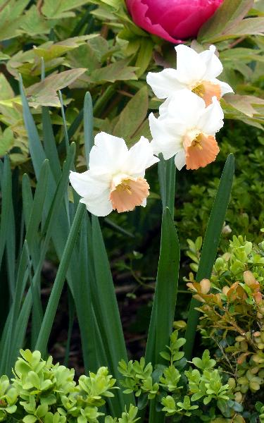 Narcissus cyclamineus DC. 'Bilbo'