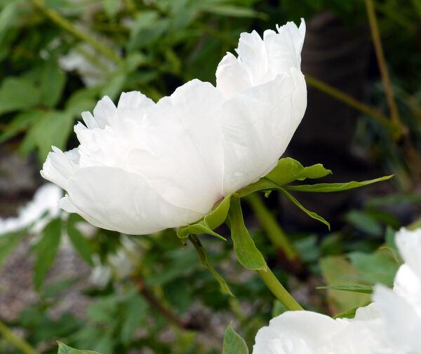 Paeonia 'Feng Dan Bai'