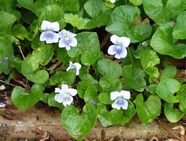 Viola sororia Willd.