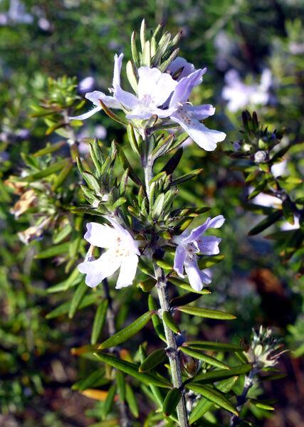 Westringia fruticosa (Willd.) Druce
