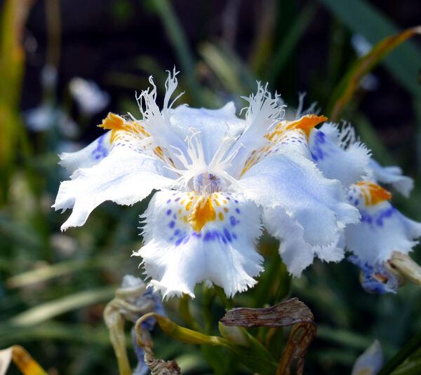 Evansia japonica (Thunb.) Klatt