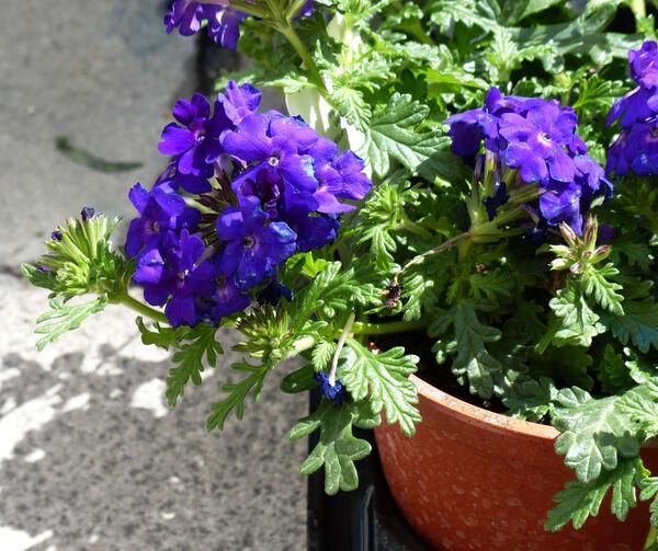 Verbena 'Vepita® Blue Violet'