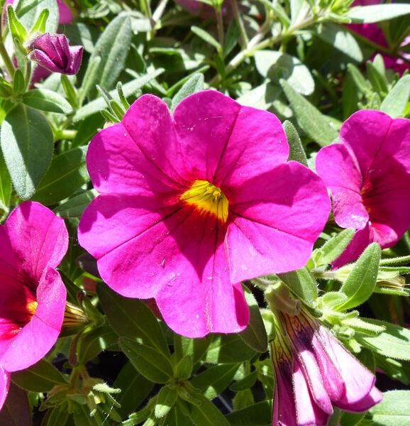 Calibrachoa 'Superbells® Unique Dark Pink'