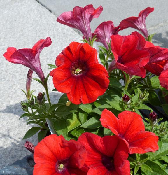 Petunia 'Veranda™ Scarlet'