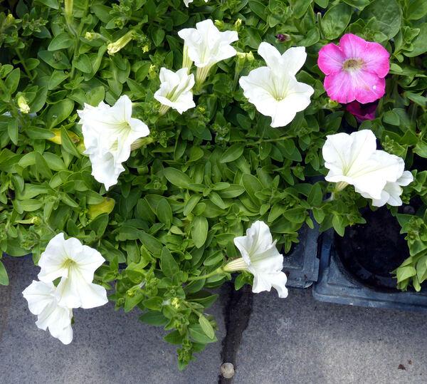 Petunia 'Veranda™ White'
