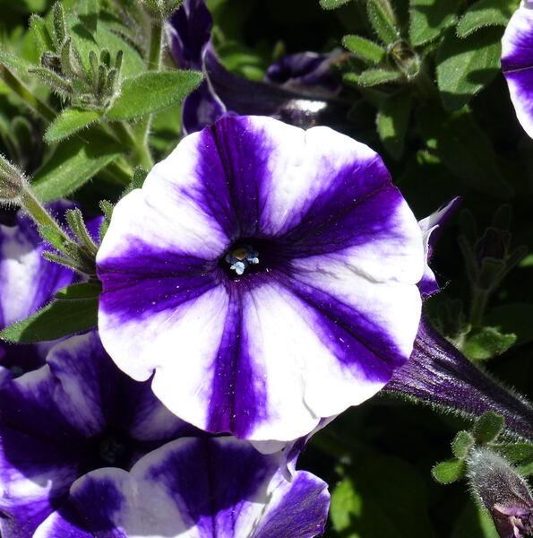 Petunia 'Blueberry Star'